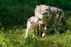 Lobo cinzento e filhote de cachorro Fotografia de Stock