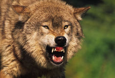 Lobo cinzento feroz Fotos de Stock