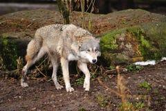 Lobo cinzento (lúpus de Canis) fotografia de stock