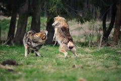 Lobo cinzento (lúpus de Canis) Imagem de Stock