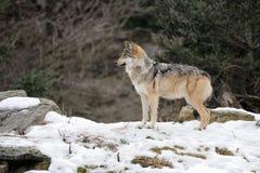 Lobo cinzento mexicano fotos de stock royalty free