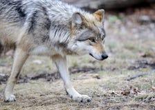Lobo cinzento mexicano Prowling fotos de stock
