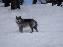 Lobo cinzento na neve Imagem de Stock Royalty Free