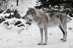 Lobo cinzento na neve imagem de stock