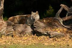 Lobo cinzento na tarde. Fotografia de Stock
