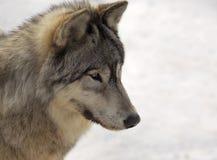 Lobo cinzento no inverno Fotografia de Stock Royalty Free
