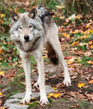 Lobo cinzento que olha a câmera em um dia da queda imagens de stock royalty free