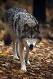Lobo com fome fotos de stock royalty free
