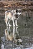 Lobo com reflexão Foto de Stock