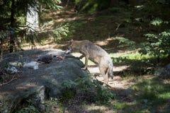 Lobo con la presa fotos de archivo libres de regalías