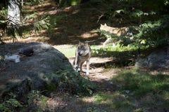 Lobo con la presa fotos de archivo