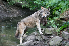 Lobo con una presa fotos de archivo
