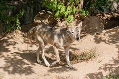 Lobo con una visión Imagenes de archivo