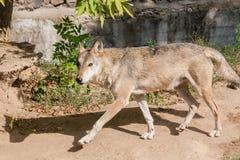 Lobo con una visión Fotografía de archivo
