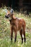 Lobo crinado (brachyurus de Chrysocyon) Foto de archivo libre de regalías