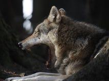 Lobo de bocejo Imagens de Stock Royalty Free
