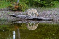 Lobo de Gray Wolf ou do temporizador fotos de stock royalty free