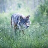 Lobo de la alfa imagen de archivo libre de regalías
