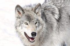 Lobo de la belleza Fotos de archivo