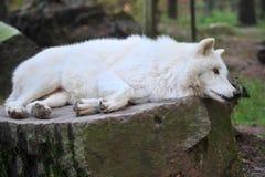 Lobo de la Hudson-Bahía Fotografía de archivo