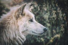 Lobo de la tundra de Alskan (albus del lupus de Canis) en el salvaje Imagen de archivo libre de regalías