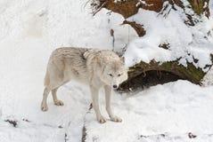 Lobo de la tundra en la nieve Fotografía de archivo libre de regalías
