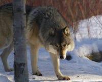 Lobo de madeira Fotos de Stock Royalty Free