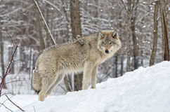 Lobo de madeira Foto de Stock Royalty Free