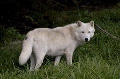 Lobo de madeira Imagem de Stock Royalty Free