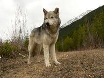 Lobo de madeira Imagens de Stock Royalty Free