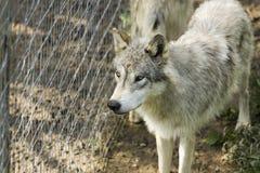 Lobo de madeira branco Fotos de Stock