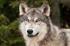 Lobo de madeira (lúpus de Canis) de encontro ao verde imagem de stock royalty free
