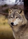 Lobo de madeira (lúpus de Canis) - fundo da árvore/céu Imagens de Stock Royalty Free