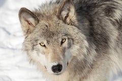 Lobo de madeira na neve Foto de Stock