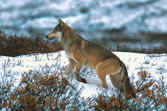Lobo de madeira ou lobo cinzento Fotos de Stock Royalty Free