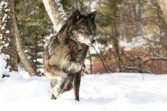 Lobo de madeira preto de vista intenso imagens de stock royalty free