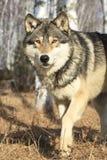 Lobo de madeira que anda na floresta imagens de stock