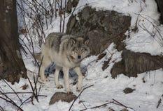 Lobo de madeira que anda na neve fotos de stock royalty free