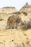 Lobo de madeira que inspira no cume Imagem de Stock