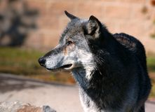 Madeira Wolf Looking Left fotografia de stock