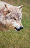 Lobo de madeira Snarling Imagens de Stock