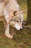 Lobo de madera - árbol con el encadenamiento Fotos de archivo