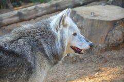 Lobo de madera Imagenes de archivo