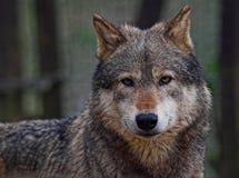 Lobo de madera Fotografía de archivo libre de regalías