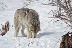 Lobo de madera Fotografía de archivo