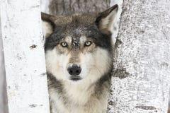Lobo de madera del retrato Imagenes de archivo