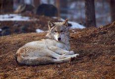 Lobo de madera que se acuesta Imagenes de archivo