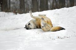 Lobo de madera Rolls en la nieve Imagen de archivo libre de regalías