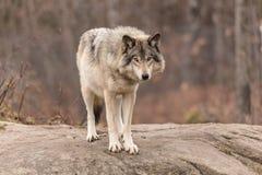 Lobo de madera solitario Fotografía de archivo libre de regalías