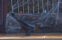Lobo de mar 2 Fotos de Stock Royalty Free